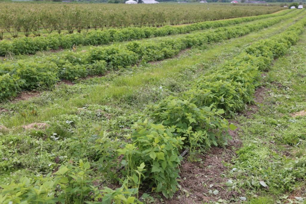 Plantacja malin odmiany 'Polana', przykryta na zimę agrowłókniną z dodatkową biostymulacją systemu korzeniowego prezentowała się 19 maja bardzo dobrze