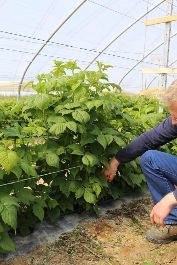 Maliny pozytywnie reagują na ograniczenie liczby wyrastających pędów oraz usuwanie liści od dołu pędu