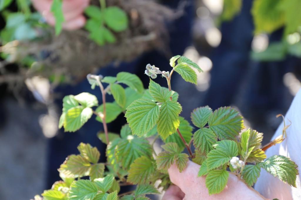 Żółknące liście lub zasychające brzegi blaszek liściowych często obserwowane są na plantacjach malin letnich