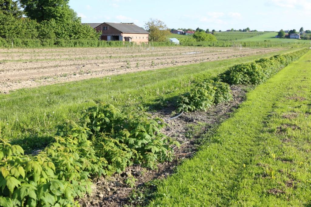 Na wielu plantacjach obserwuje się nierównomierne wschody - to najczęściej efekt przemarznięcia roślin zimą