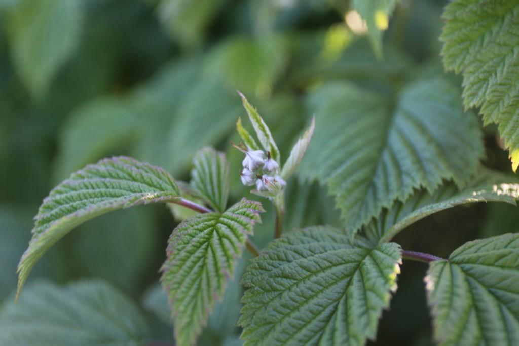 Tam gdzie zaczyna się kwitnienie malin celowe będzie zastosowanie Biocalu