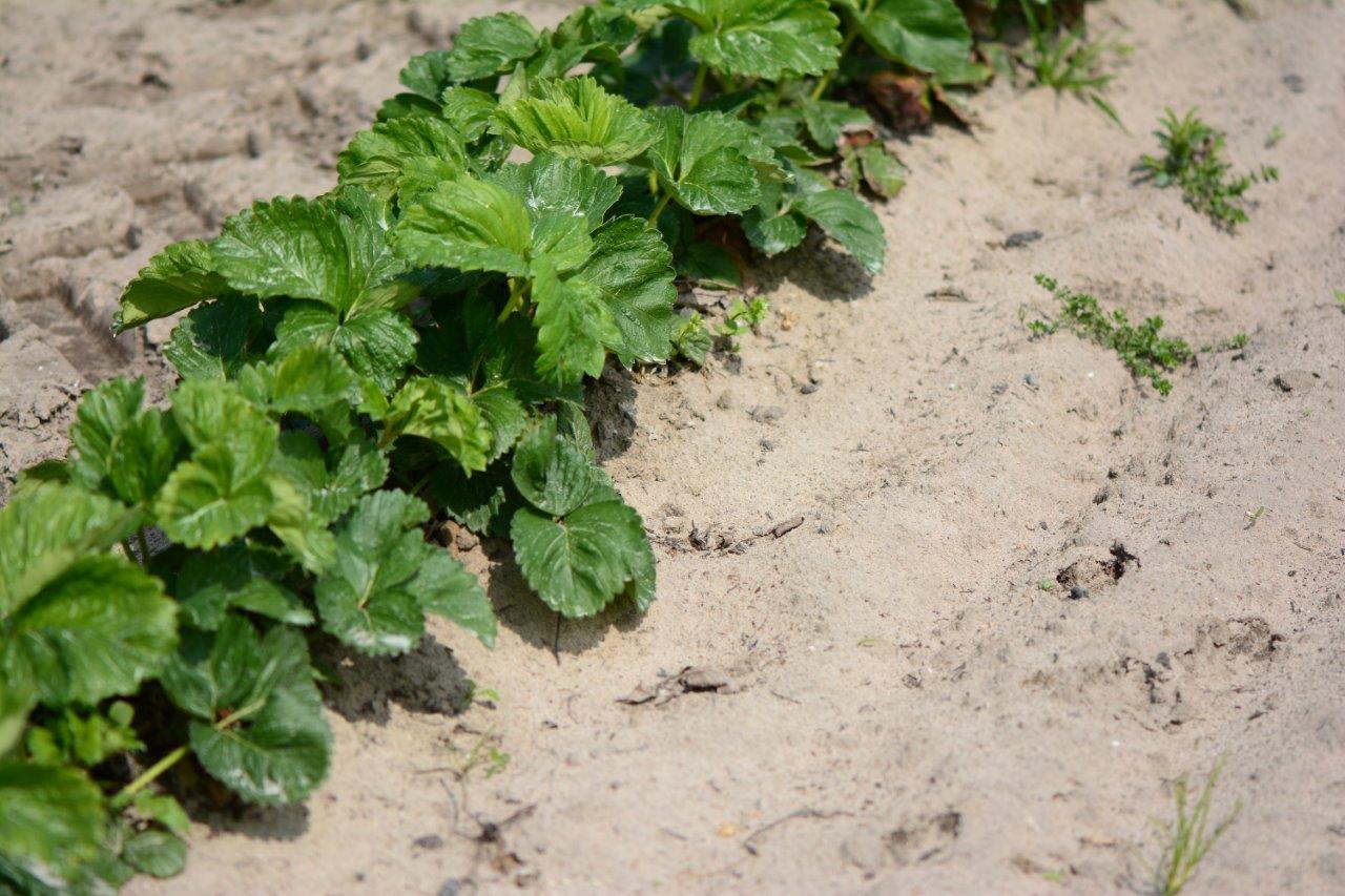 Odmiana Asia w pierwszym roku owocowania posadzona na płask, w późniejszym czasie będzie ściółkowana