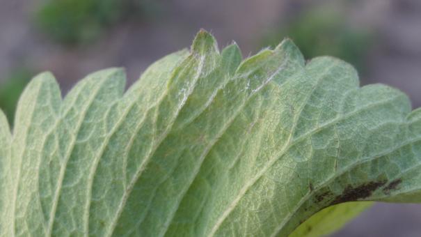 Fot. 2. Charakterystyczne dla mączniaka prawdziwego, porażenie spodniej strony liścia truskawki