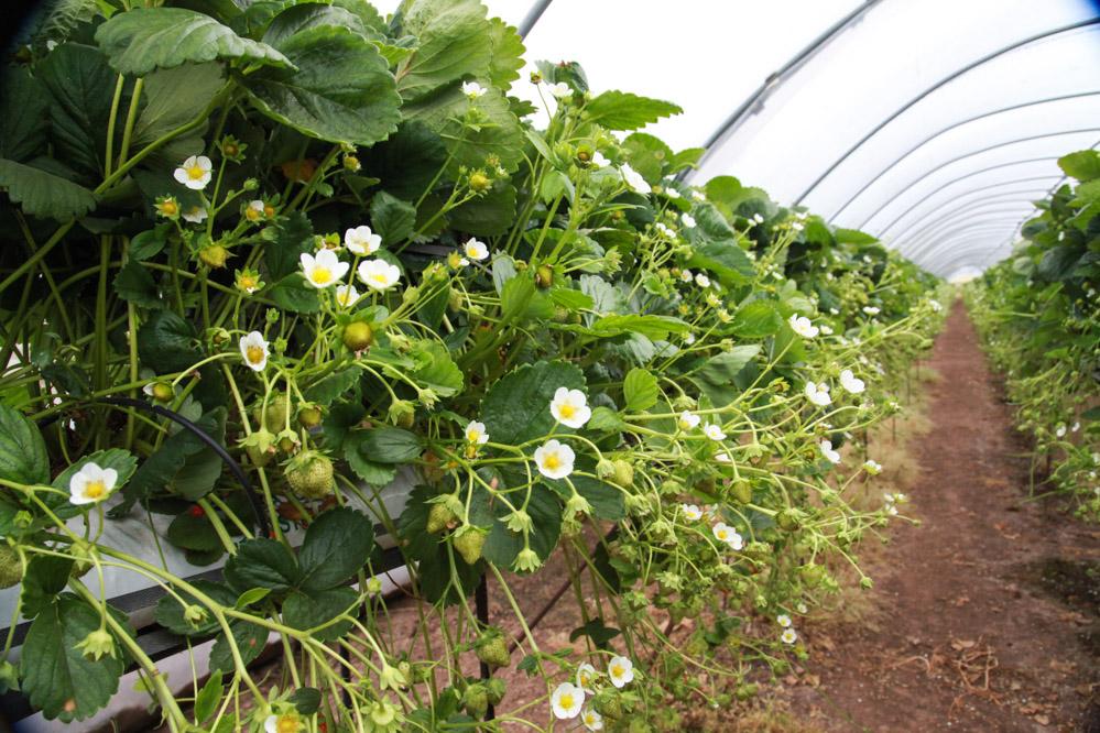 Uprawa truskawek w szkockim systemie