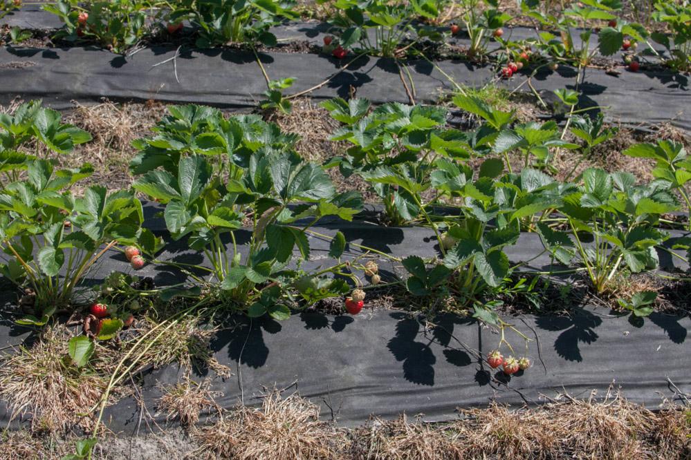 Rośliny odmiany 'Aprica' posadzone na stanowisku po truskawkach