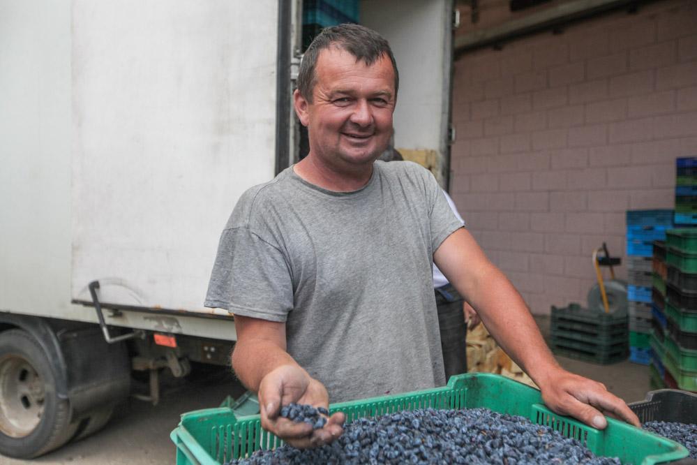 Piotr Syndoman rozpoczął już zbiór owoców jagody