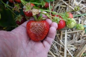 Fot. 2. Regularne dokarmianie pozakorzeniowe wapniem i krzemem w trakcie zbiorów zmniejsza podatność owoców na oparzenia słoneczne