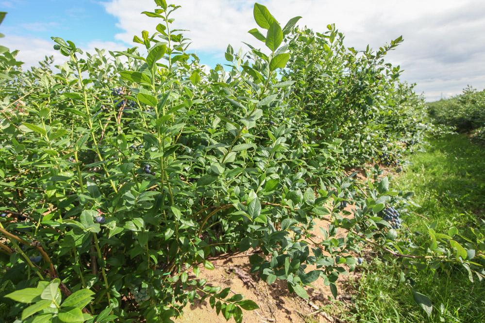 Intensywny wzrost pędów sprzyja budowaniu potencjału plonotwórczego na kolejny rok