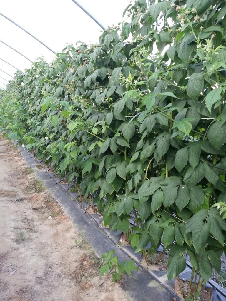 Kondycja malin uprawianych już drugi rok w agrowłókninie Pegas Agro w tunelu foliowym