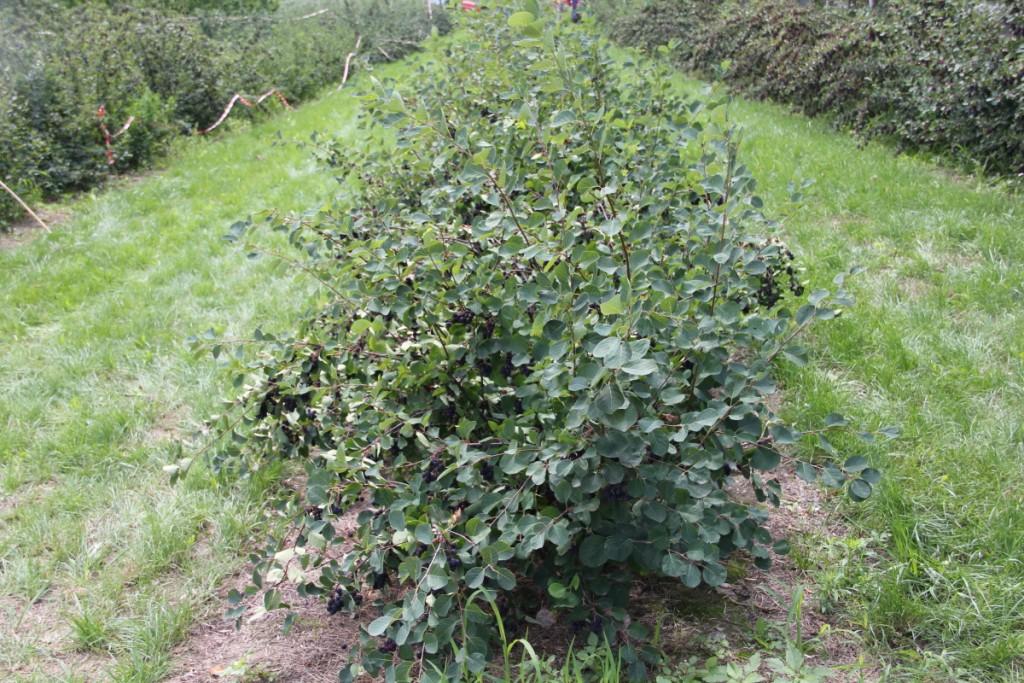 Fot. 3. 3-letnie krzewy świdośliwy odmiany 'Smoky'
