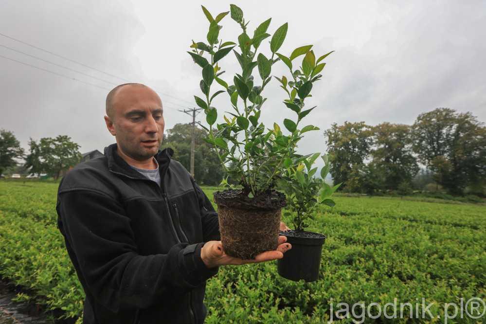 Paweł Korfanty prezentuje rośliny borówki gotowe do sprzedaży