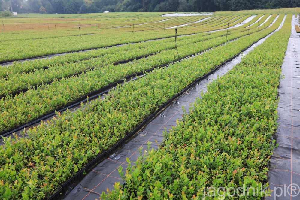 Rośliny ukorzenia się w wielodoniczkach, w których rosną przez pierwszy rok