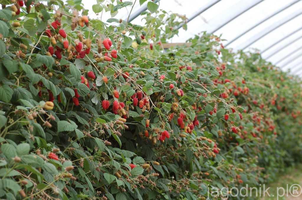 Tak plonowały w tym roku odmiany owocujące na pędach dwuletnich - czy ktoś wie jaka to odmiana?