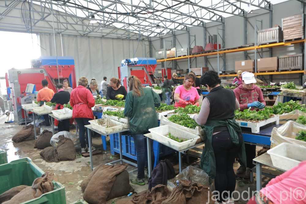 Ukorzenianie sadzonek w firmie Mazzoni