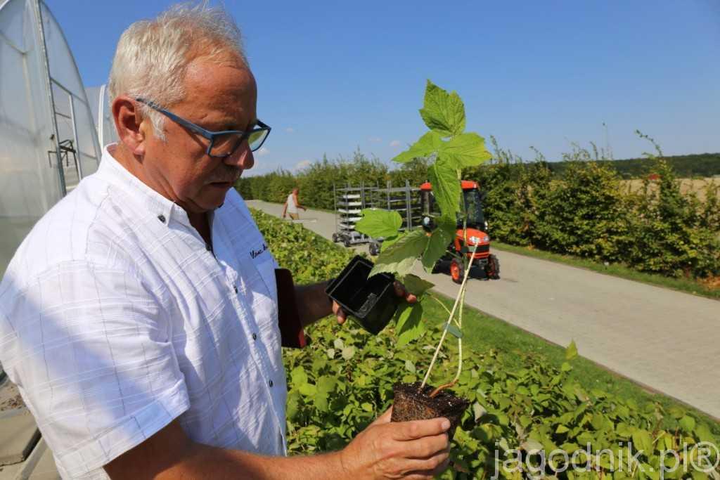 Tadeusz Kusibab prezentuje sadzonkę doniczkowaną maliny wyprowadzaną przy drewnianej podpórce