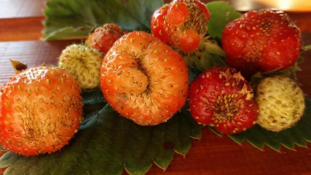 Fot. 3. Owoce uszkodzone przez zmieniki owoce (fot. K. Golan)