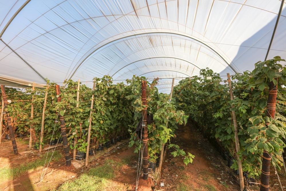 System uprawy malin odmiany Maravilla przy zbiorze z jednorocznych pędów