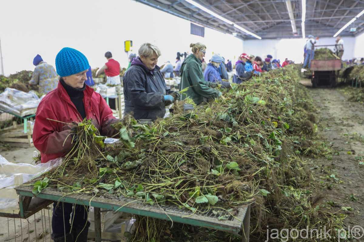 Sortowanie sadzonek w hali