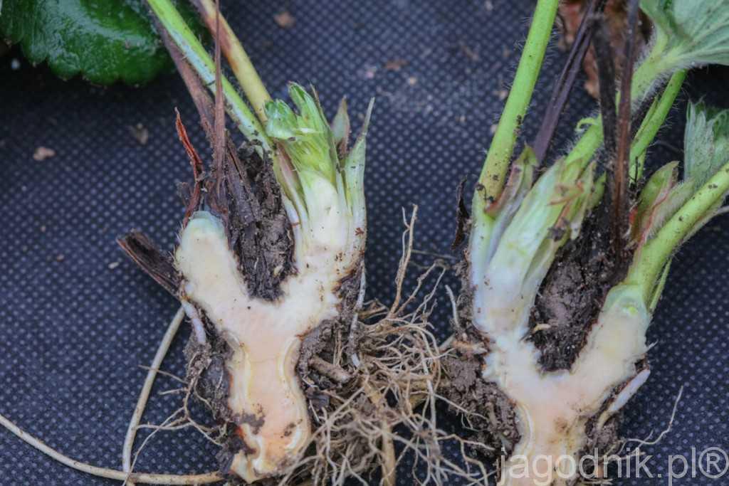 Przekrój korony 2-letniej Marmolady ze słabo widocznymi pąkami kwiatostanowymi