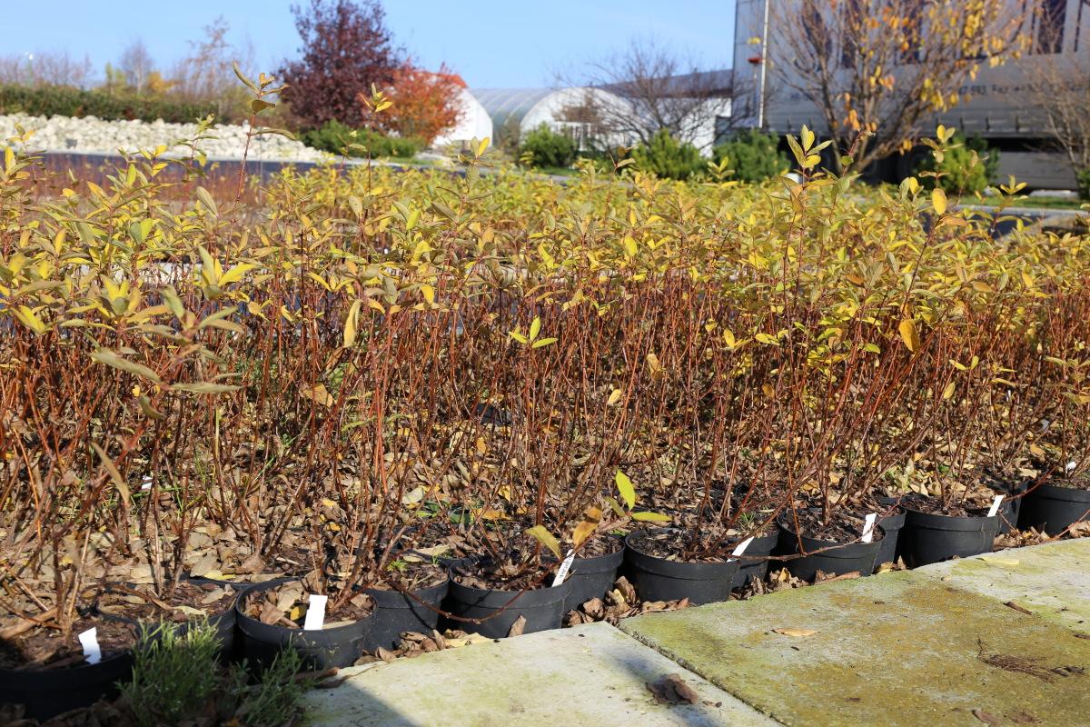 Przygotowane do sprzedaży krzewy jagodowy kamczackiej